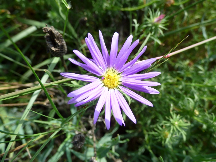 Tansy Aster - BL - Sept 2017