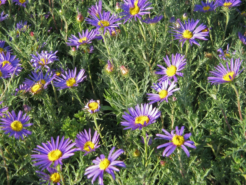 Tansy Aster Ed