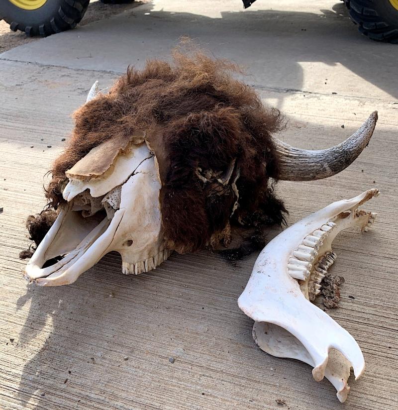 Bison skull image