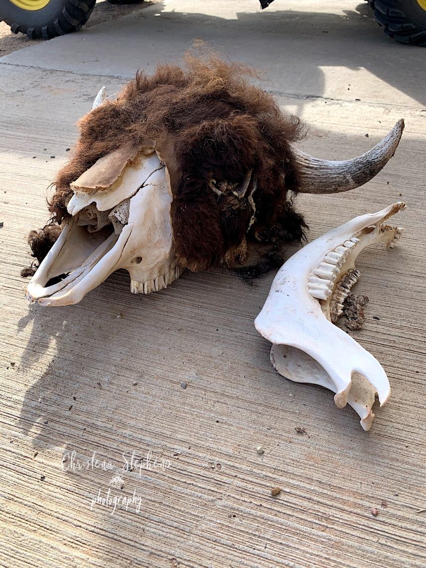 Bison Bull Skull