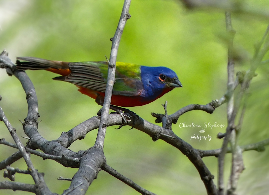 Painted Bunting - 3RF May 2020 Double Ed Logo