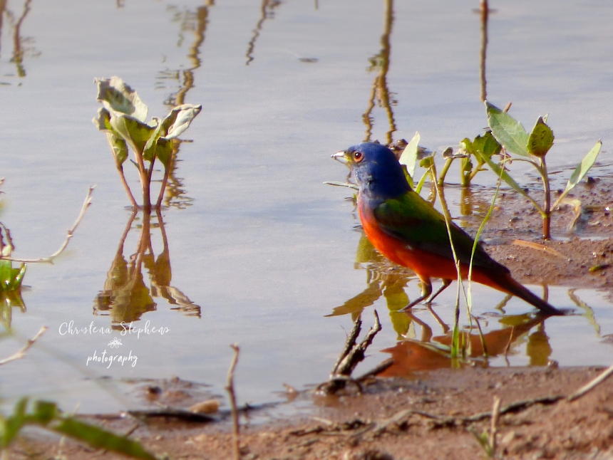 Painted Bunting Main May 2018 With Logo