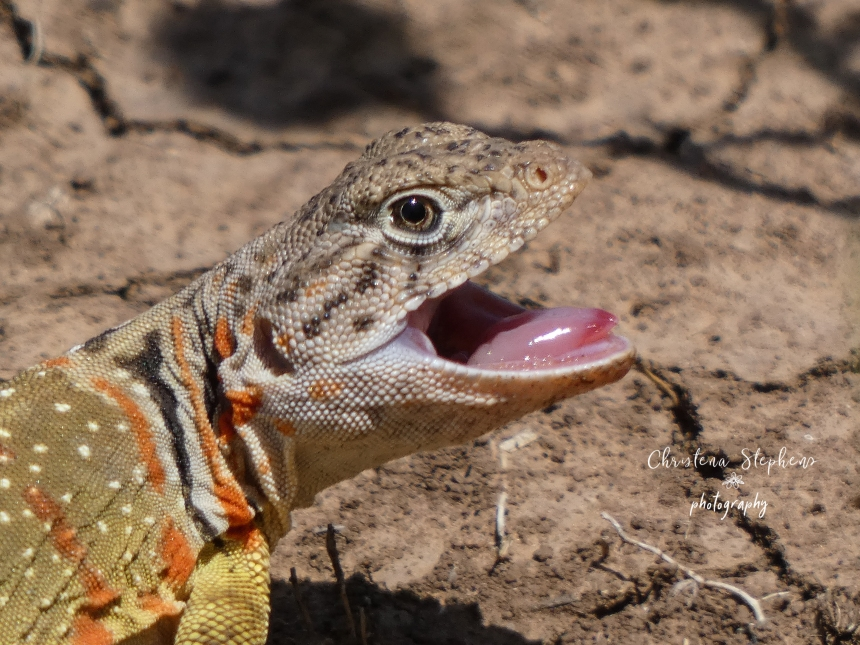 Collared Lizard Open Mouth - 3RF May 2020 Logo