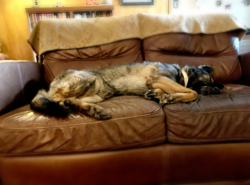 German shepherd dog laying on a couch.