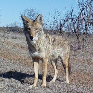 Best Coyote Capture